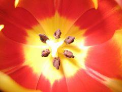 Tulpe ...