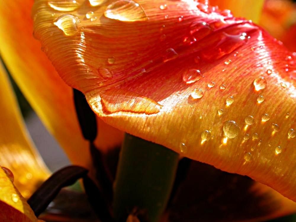 Tulpe 5