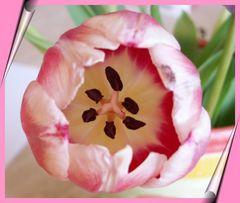Tulpe.....