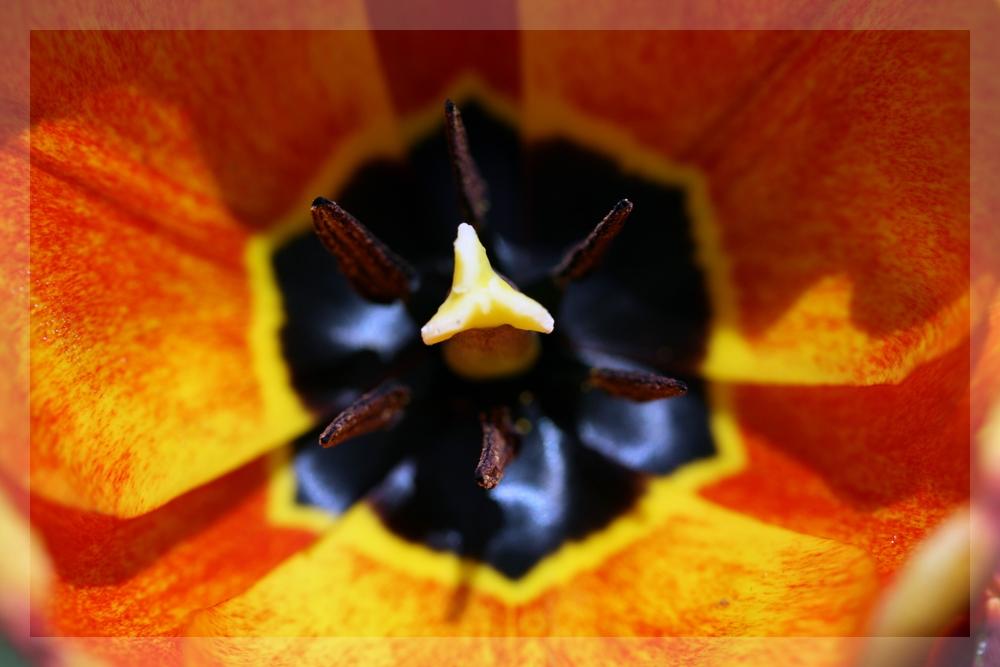 Tulpe...