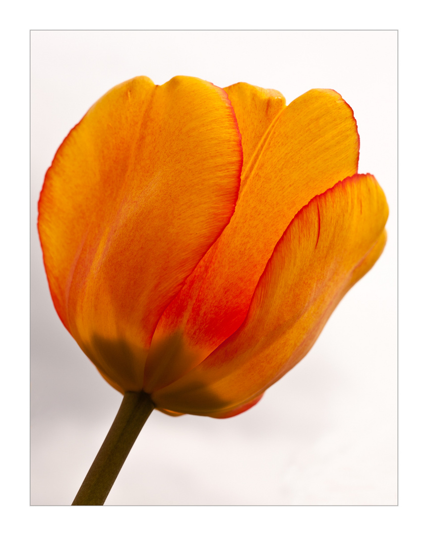 Tulpe