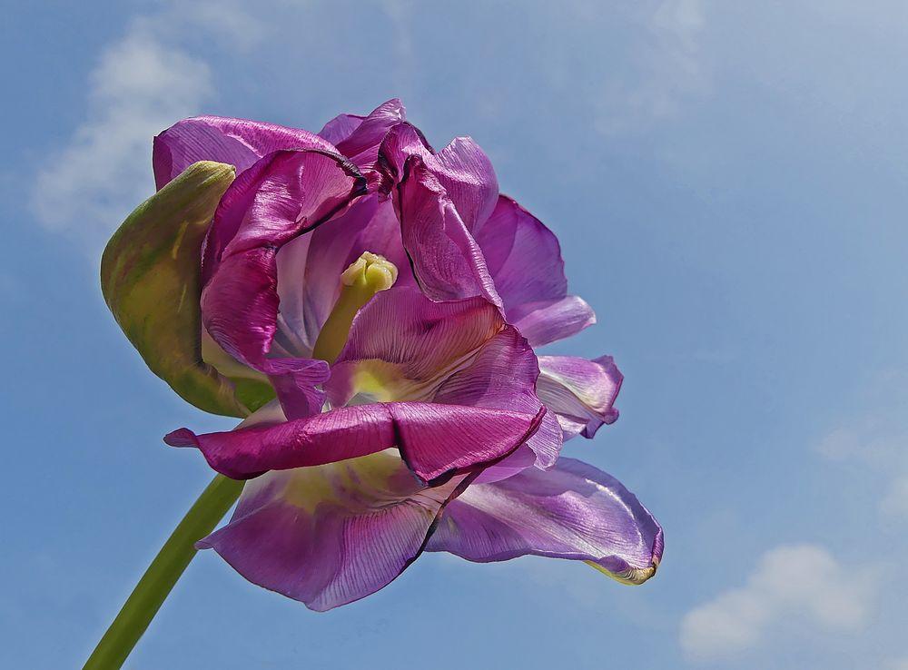 Tulpe am Verblühen