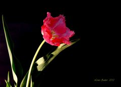Tulpe aus dem Garten