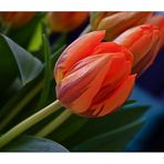 Tulpe aus der Vase aufgenommen.............