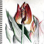 Tulpe ?
