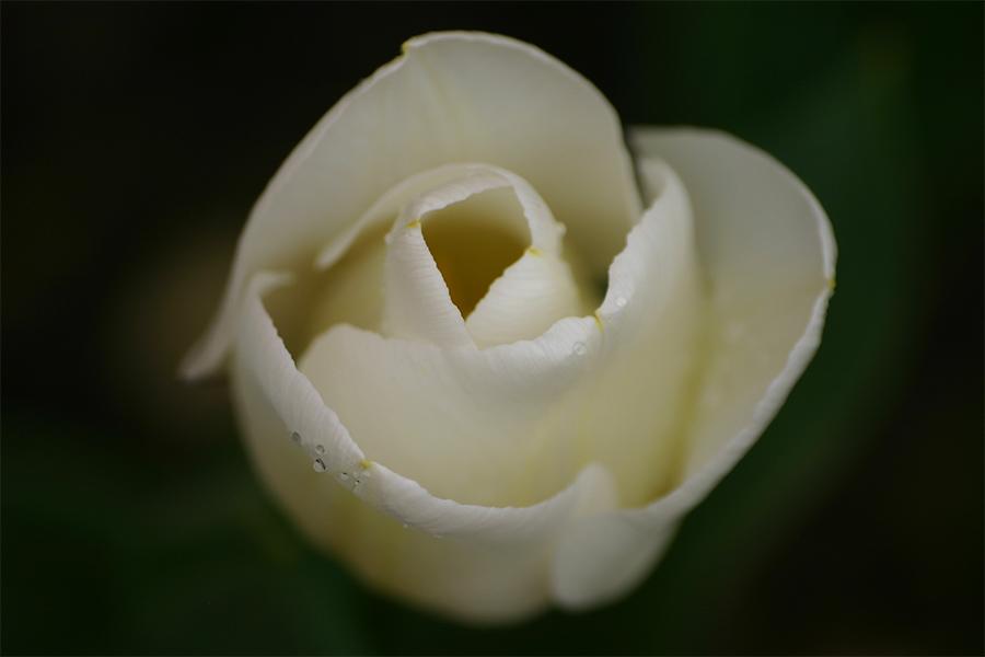 Tulpe ..