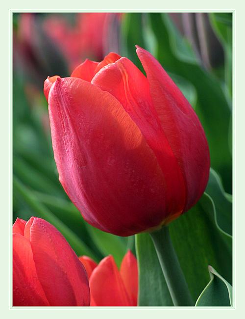 Tulpe, erster Versuch