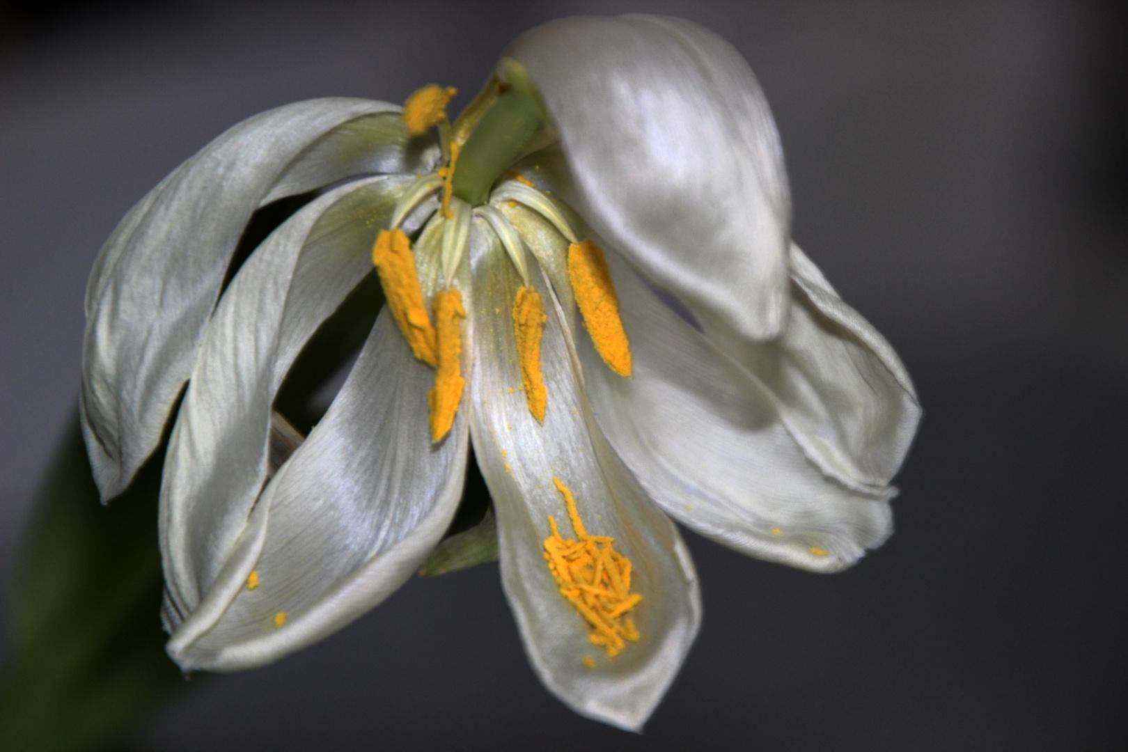 Tulpe - es ist angerichtet