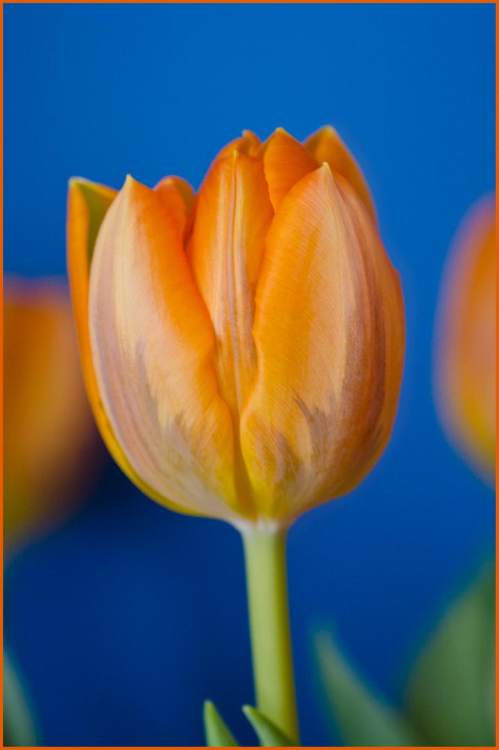 Tulpe - Frühling im warmen Wohnzimmer ;)