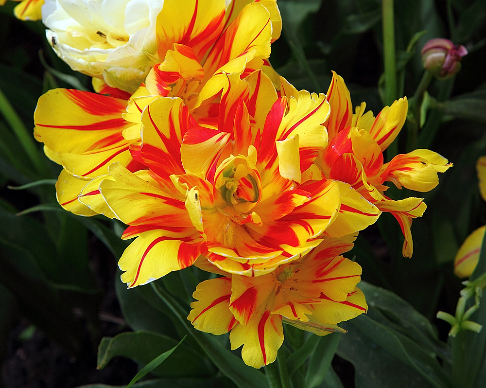 Tulpe geflammt