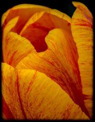 Tulpe gelbrot