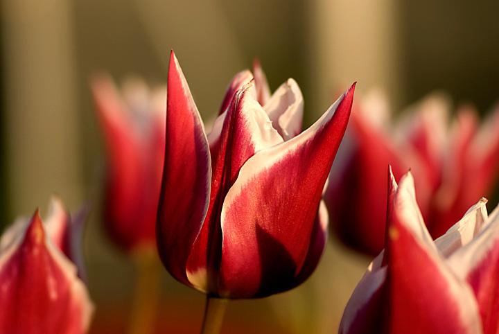 Tulpe im eigenen Garten