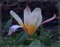 Tulpe im Fantasie Look
