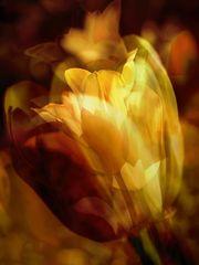 Tulpe im Frühling ?