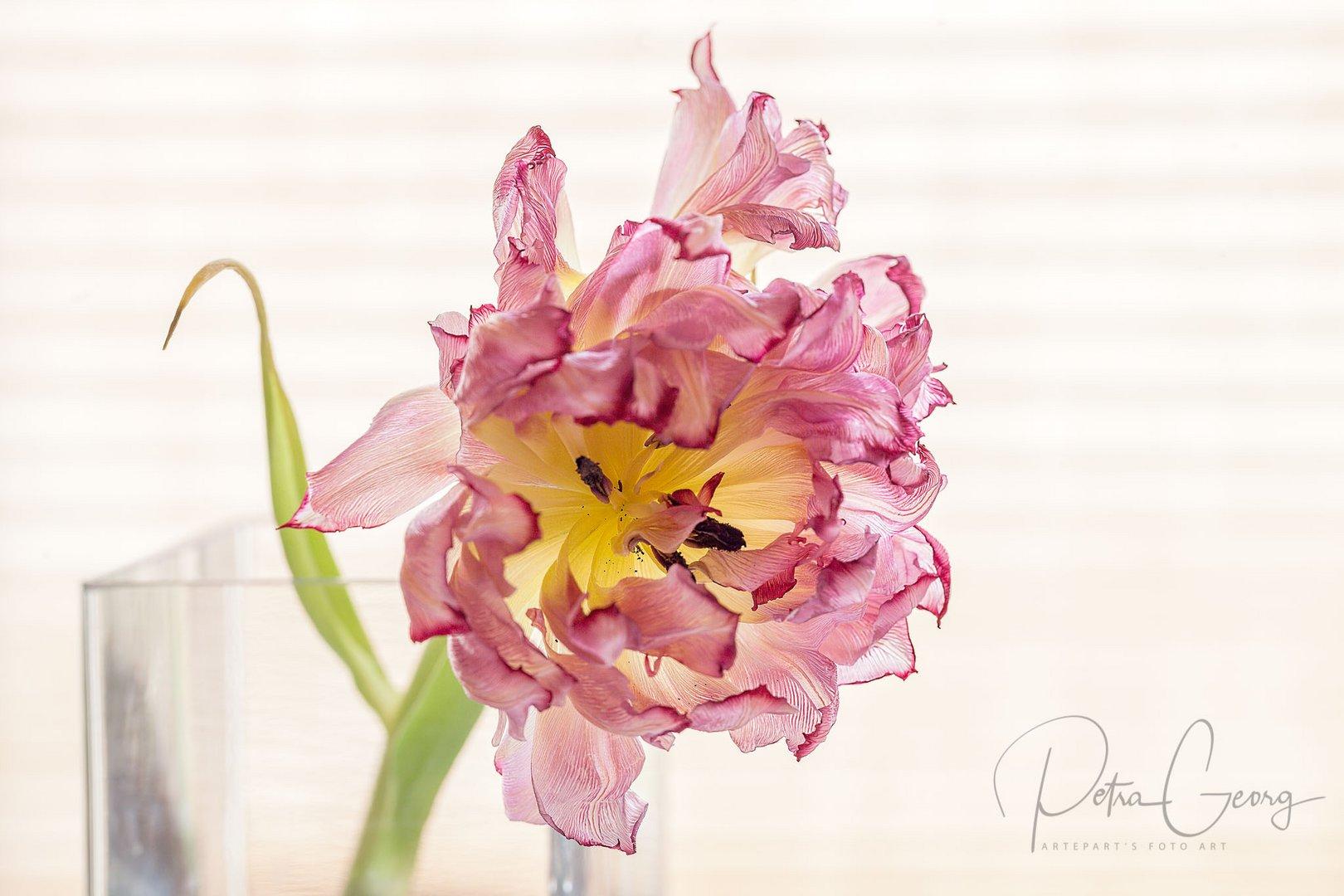 Tulpe im Ruhestand
