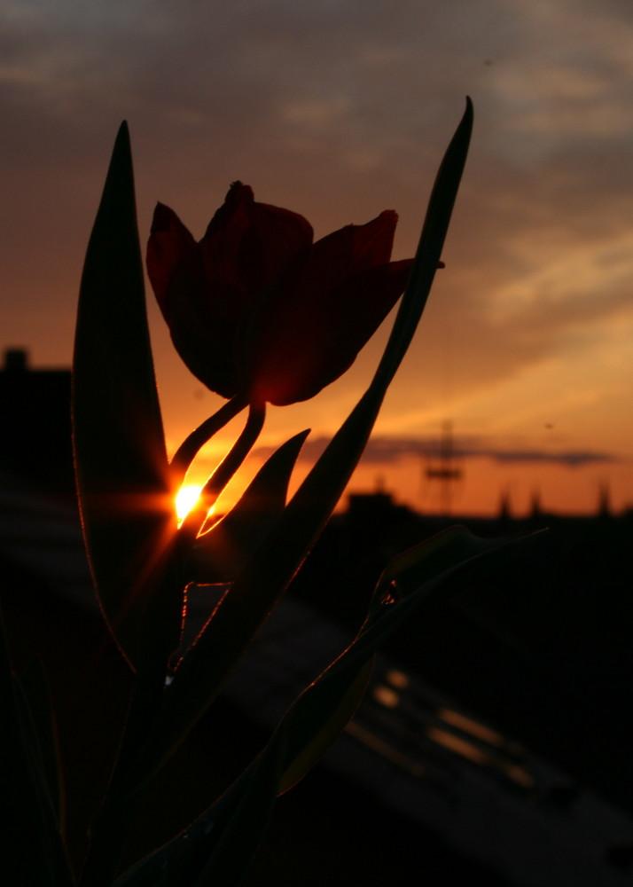 Tulpe im Sonnenuntergang