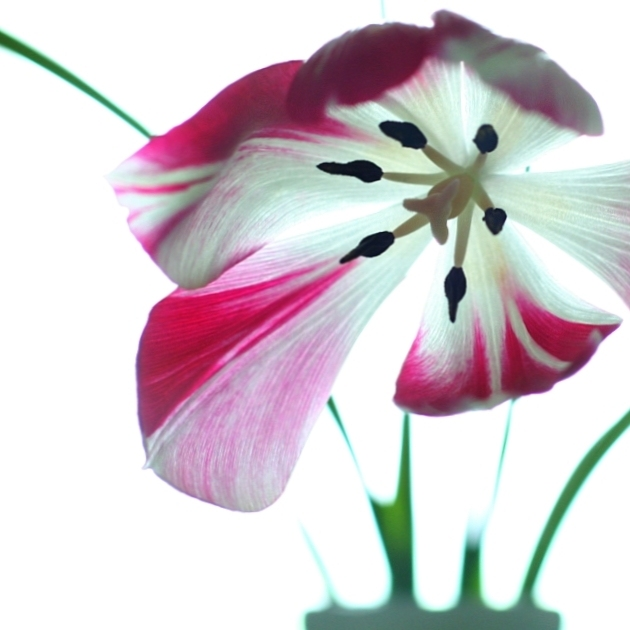 Tulpe in Bunt