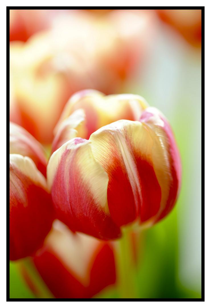 Tulpe in der Sonne