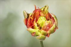 Tulpe in der Tulpe...