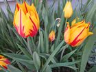 Tulpe in rot-gelb