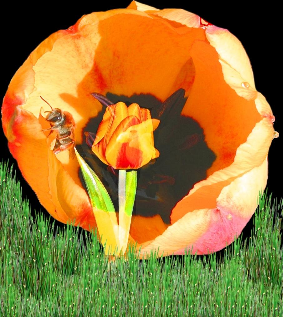 Tulpe in Tulpe