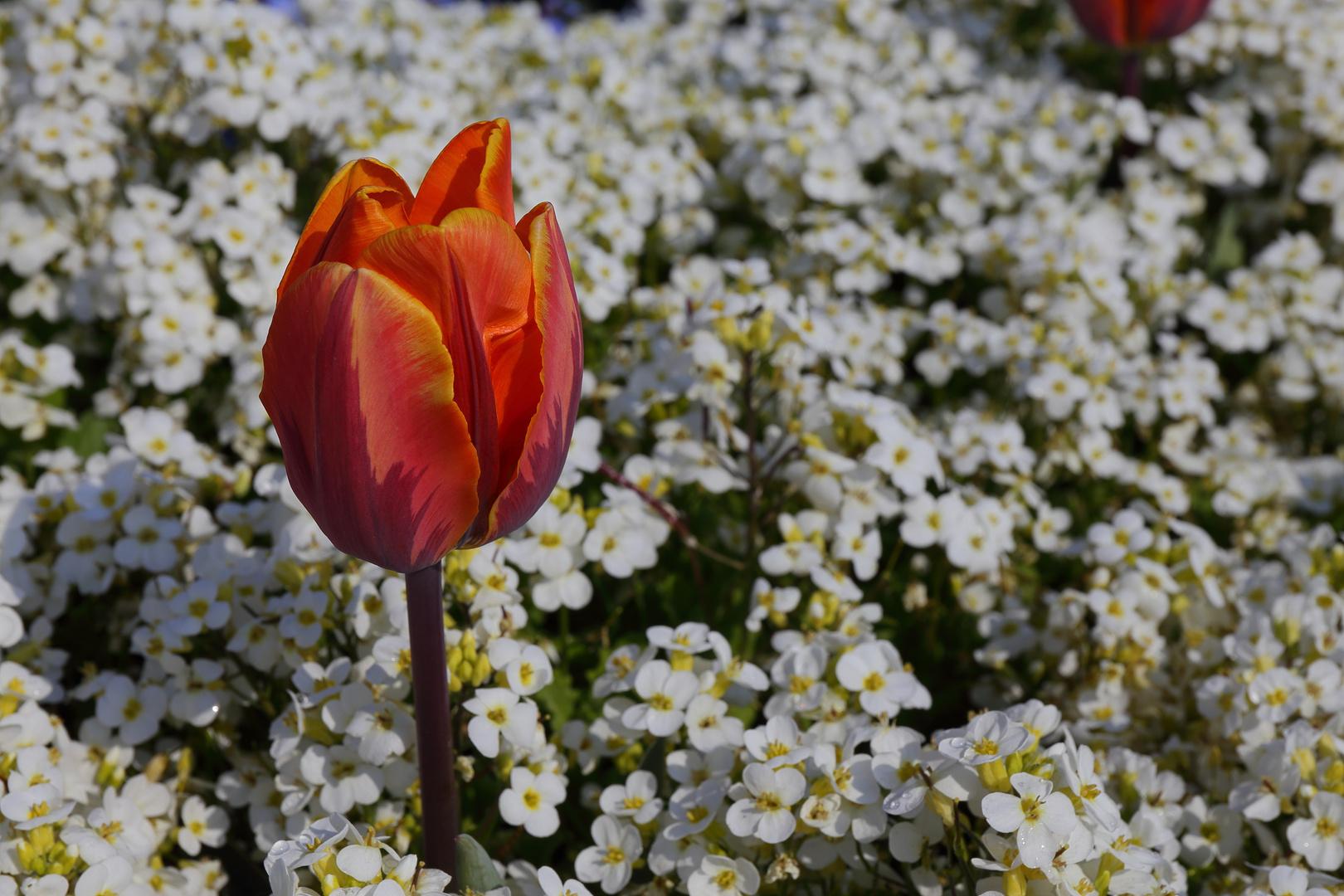 Tulpe in weißem Blütenmeer