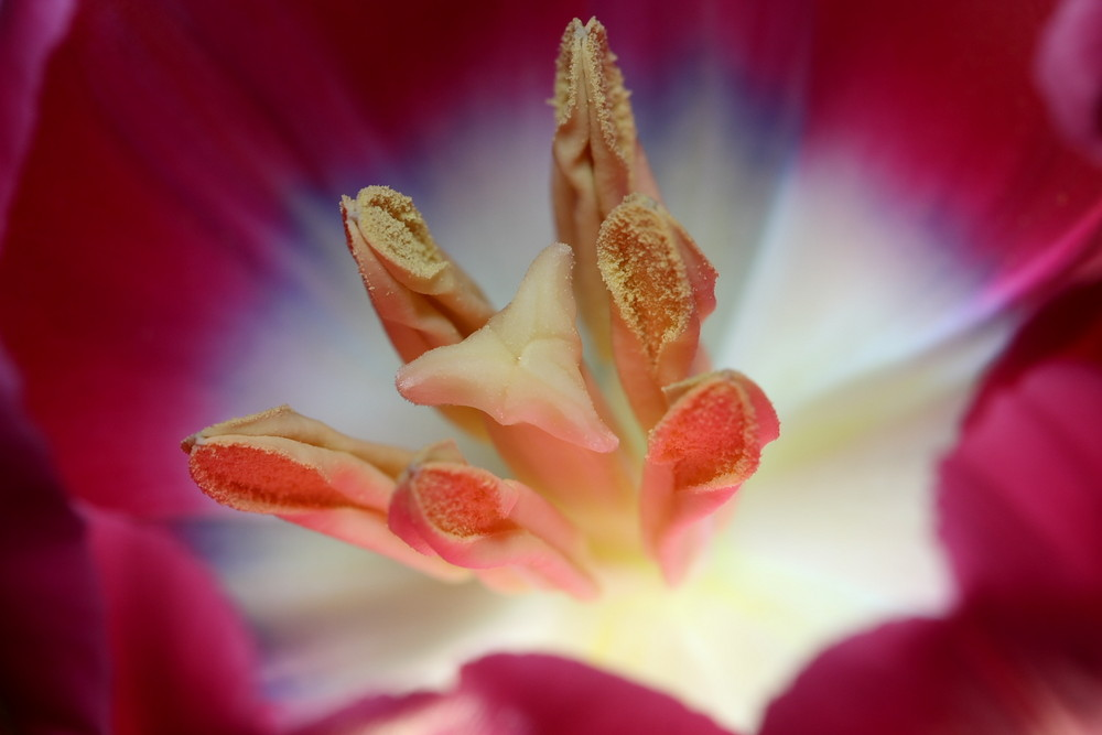 Tulpe intim