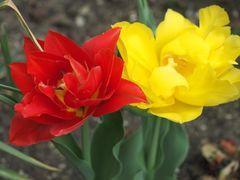 Tulpe Iv