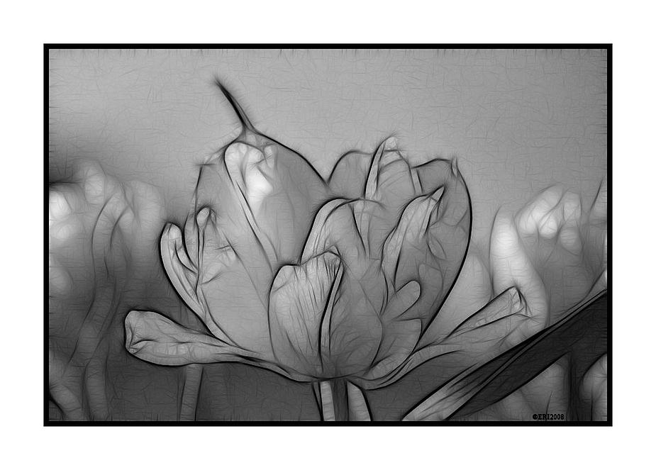 Tulpe mal anders