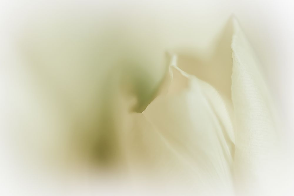Tulpe minimal