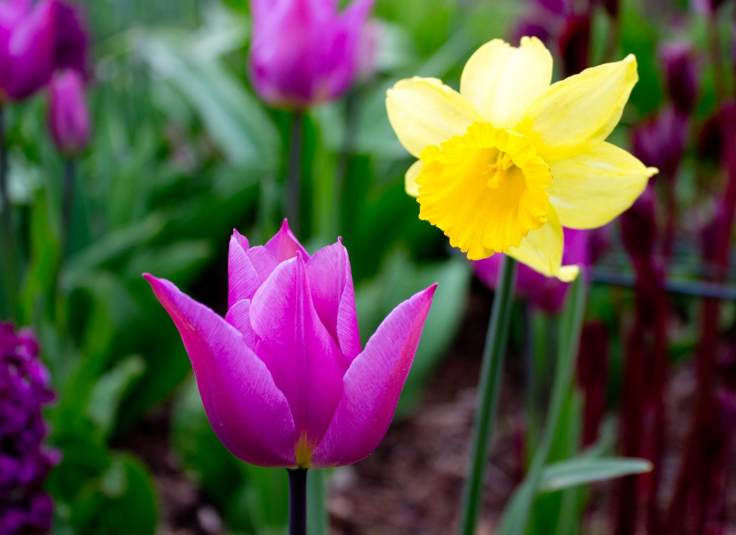 Tulpe mit Begleitung