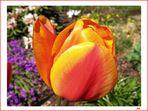 Tulpe mit Gast