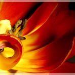 Tulpe mit Kringel ...