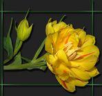 Tulpe mit Nachwuchs