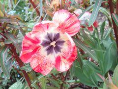 Tulpe mit Streifen