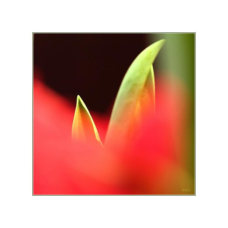 tulpe N