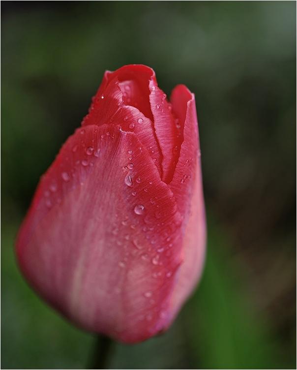 Tulpe nach dem Regen