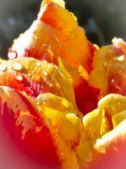 Tulpe nach Regentusche