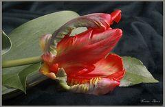 Tulpe Papagei