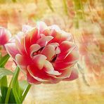 Tulpe romantisch