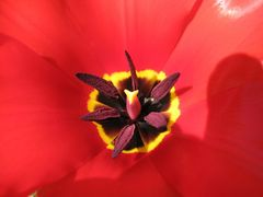 Tulpe - roter Frühling