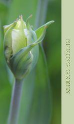 "Tulpe "" Spring Green """