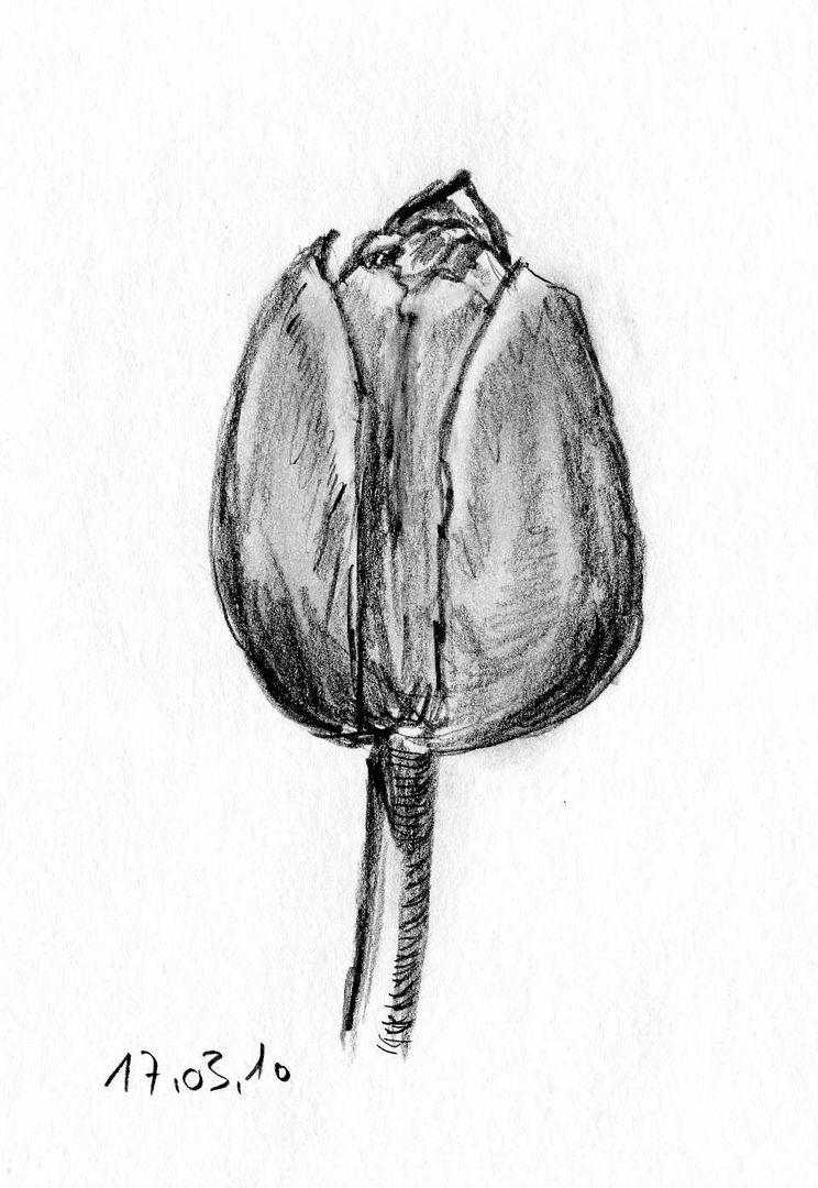 Tulpe (Studie)