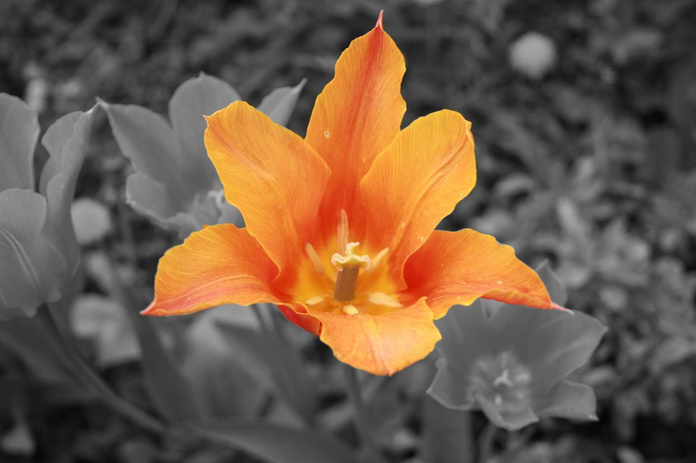 Tulpe s/w