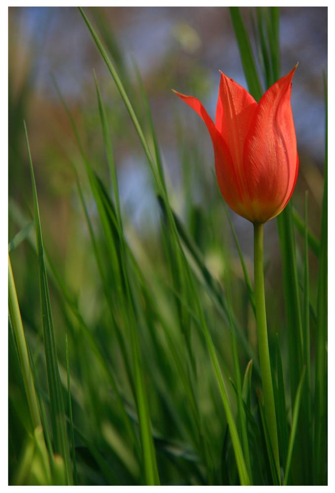 [ Tulpe (Tulipa) ]