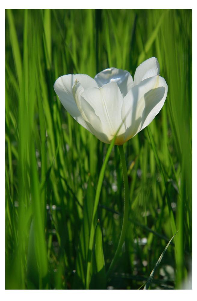 [ Tulpe (Tulipa) 2 ]