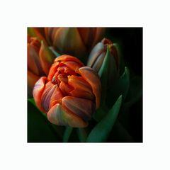 Tulpe - Tulipa...