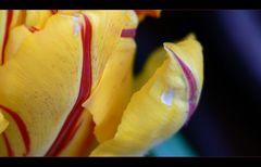 """Tulpe """" Tulpia cultivars """" Frühlings Details"""