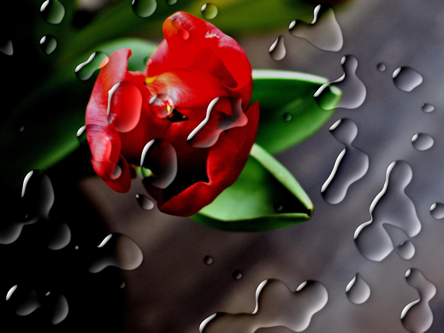 Tulpe unter Wassertropfen