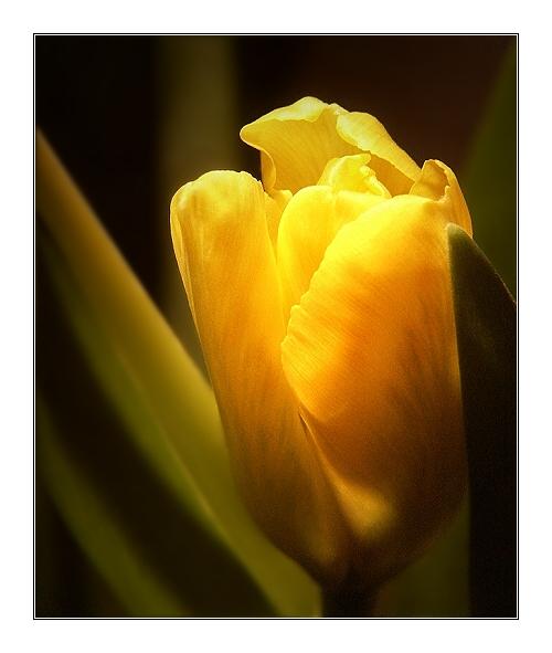 Tulpe verhalten